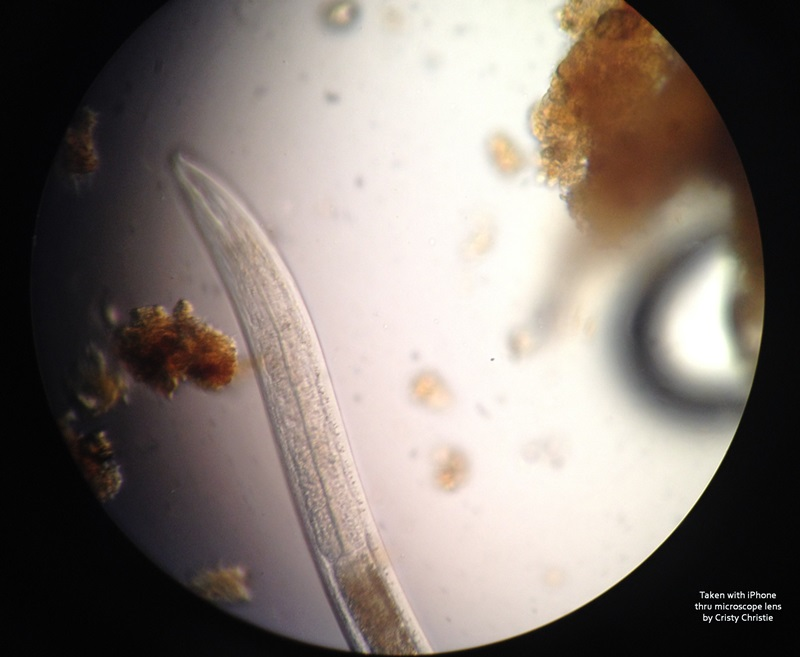 nematode in scope credits CC 800x657.jpg