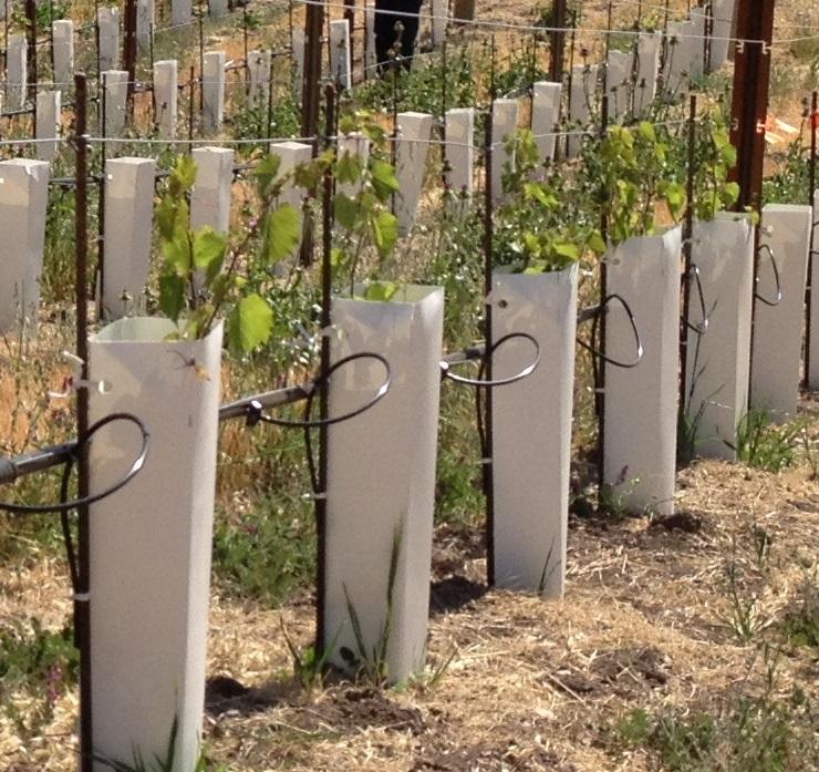 vine growth.JPG