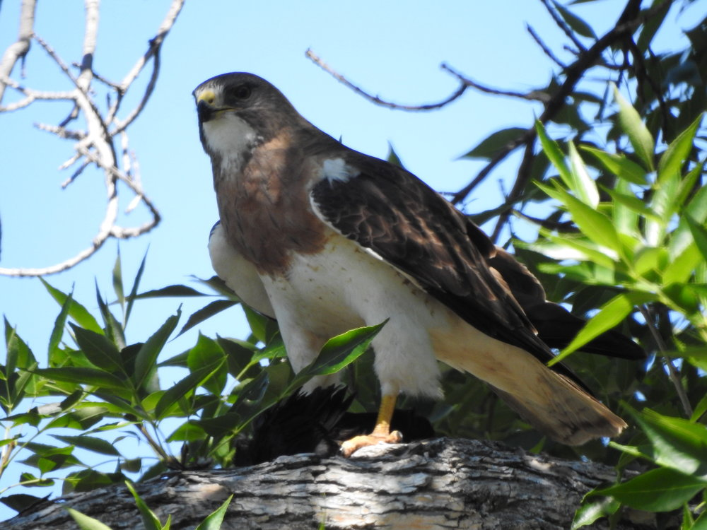 Swainson's hawk - a species protected under the Migratory Bird Treaty Act