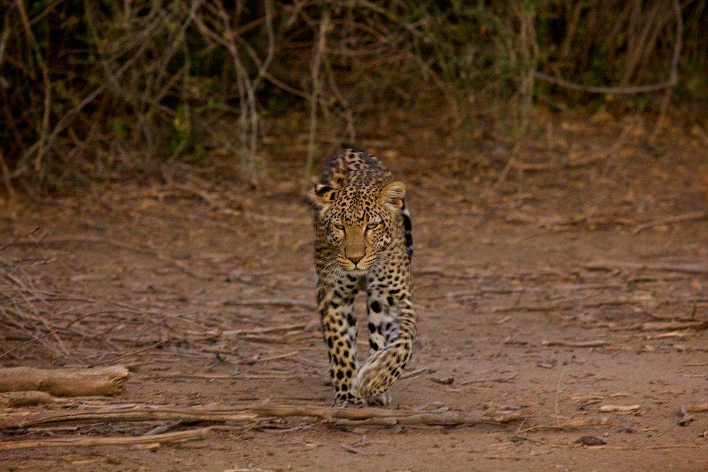 Sarara+Leopard.jpg