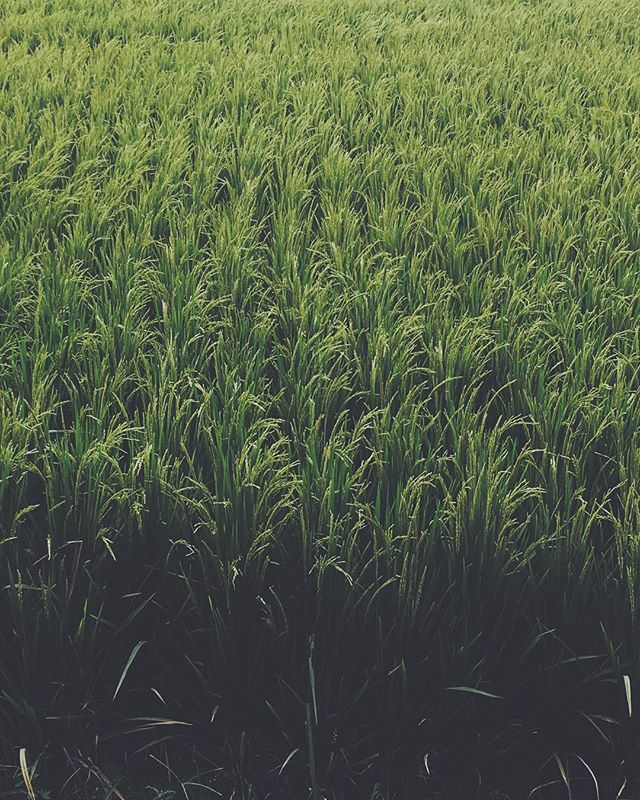 Rice, rice baby.