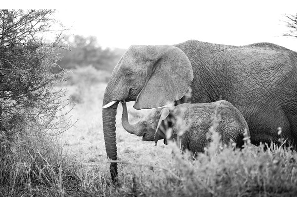 Elephantasia engages the fashion-concious in the conservation of African elephants killed for their ivory tusks through interactive fashion events and an elephant inspired apparel collection giving 30% - 100% back to the African Wildlife Foundation 501(c)(3).