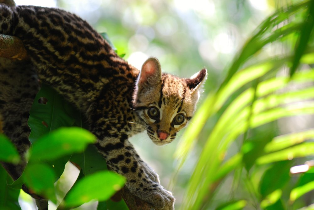 Pictured: Khan the Ocelot, who was to be re-entered into the wild by Hoja Nueva member Harry Turner. Khan was killed by a poacher trap, and his memory drives Hoja Nueva to succeed with conservation efforts, despite resistance.