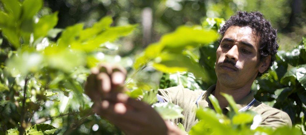 farmer-pickiung-beans.jpg