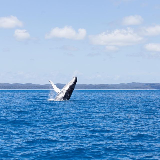 Whale watching in Hervey Bay was an incredible experience! They swam with calfs directly under our boat and hearing them sing was such a treat, massive thanks to @bluedolphintour for the hospitality and expertise!  #whale #ocean #Australia #humpback #calf #sing #nature #breach #jump #sea #adventure #travel #roadtrip #boat #catamaran #experience #landscape #seascape #naturephotography #nature #action #queensland #qld #herveybay #brisbane #fraserisland