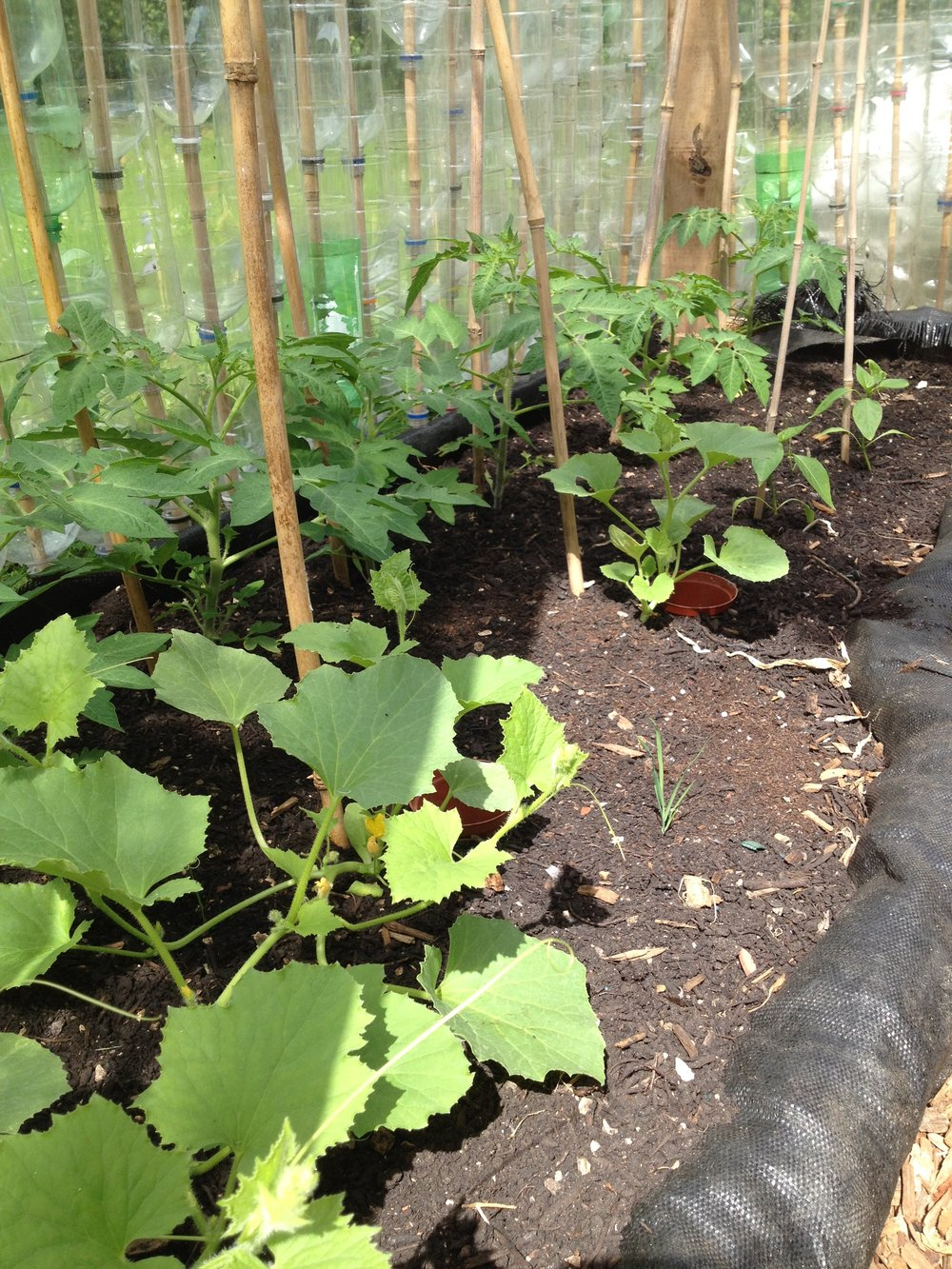 southfields allotment 2016 001.JPG