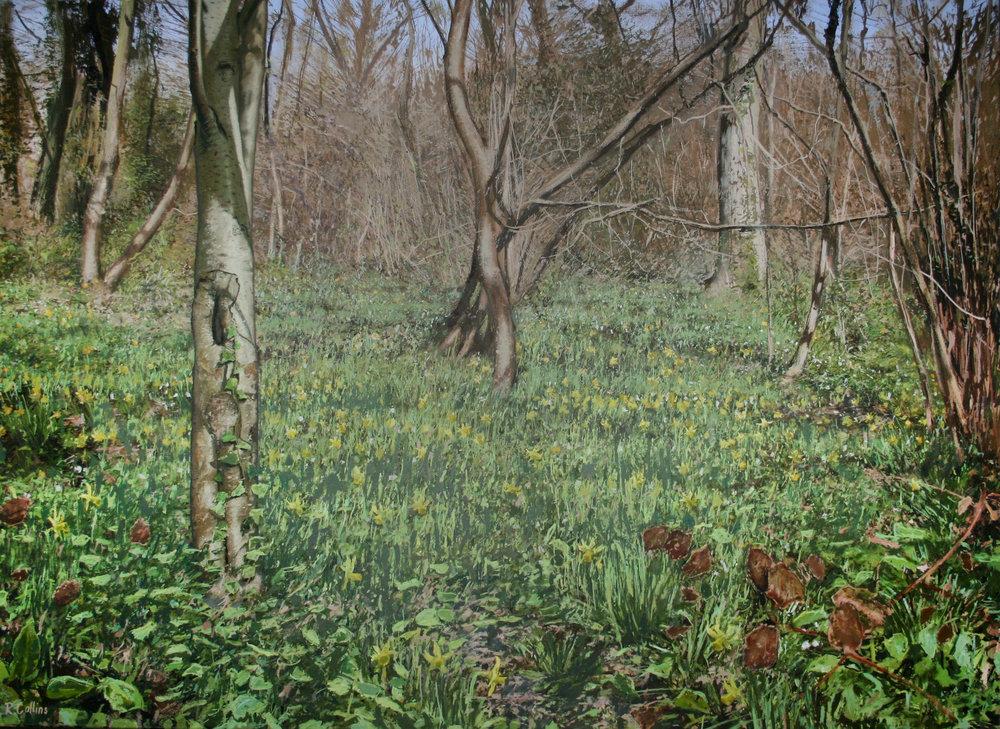 Wild Daffodils at Betty Dawes Wood