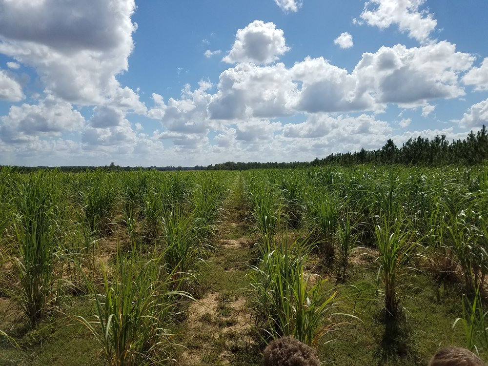 The Richland Estate sugar cane fields, a few weeks before the November harvest.