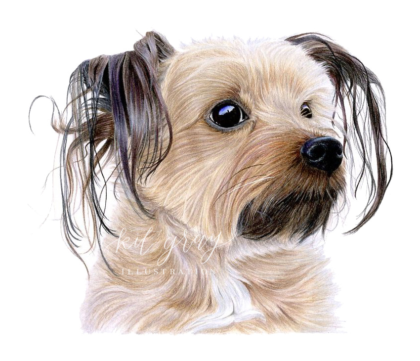 """Kenzi - Yorkshire Terrier in Colored Pencil, 9""""x12"""""""
