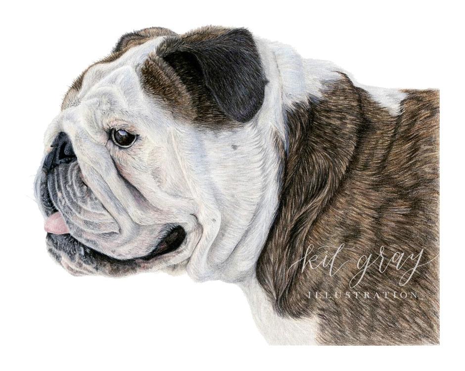 """Sir - English Bulldog in Colored Pencil, 9""""x12"""""""