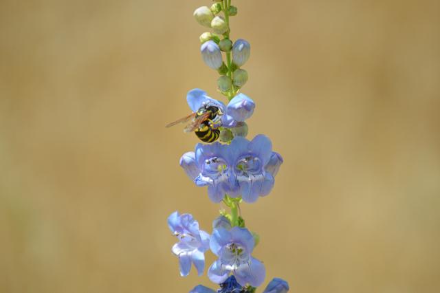 Wasp drinking nectar from Penstemon spp., J. Gray, Ecology Margin Notes