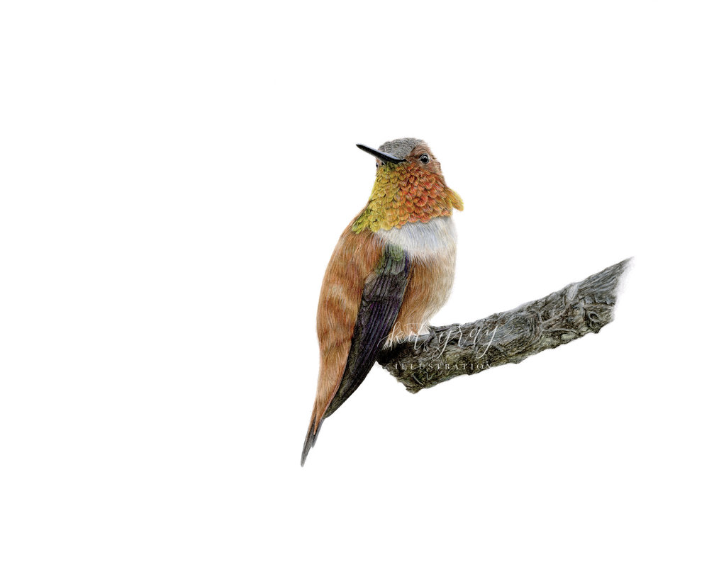 "Coffee Break - Rufous Hummingbird in Colored Pencil, 11"" x 14"" [FOR SALE]"
