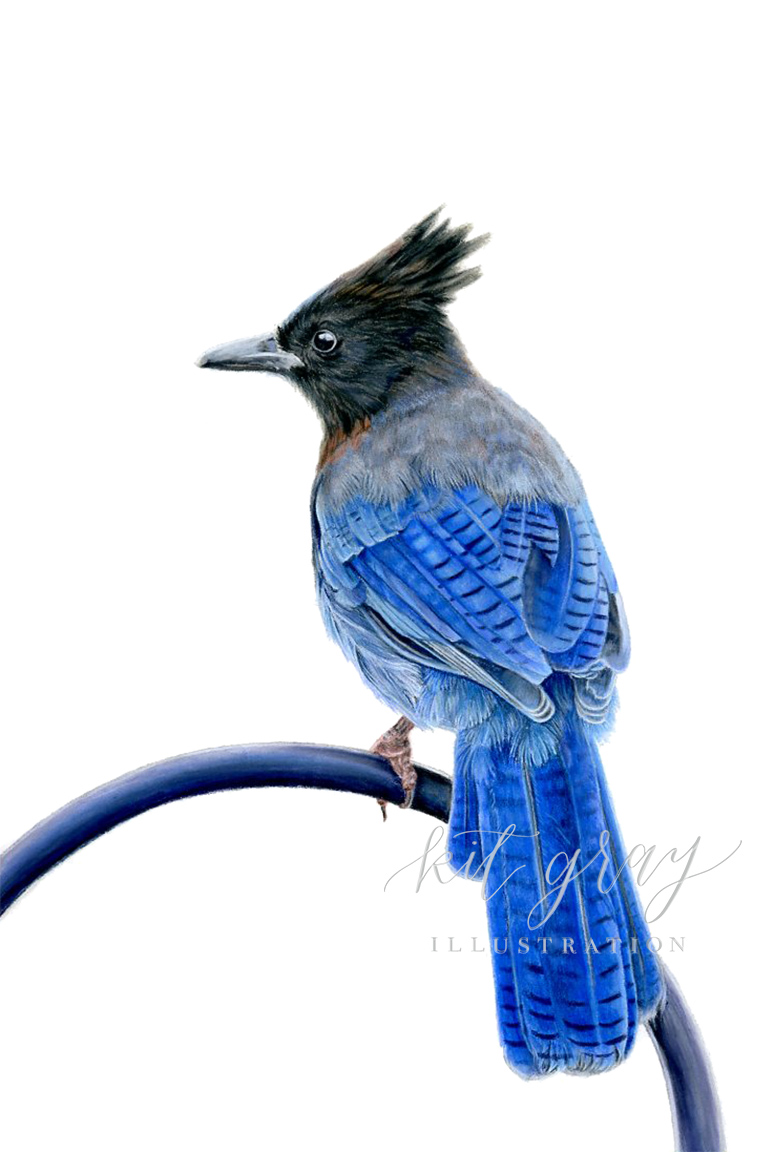 """Wild at Home - Steller's Jay in Pastel, 8"""" x 12"""" [FOR SALE]"""