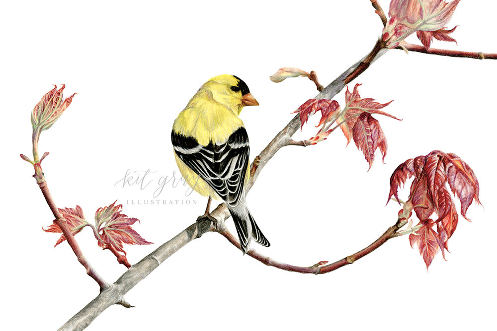 """Signs of Spring - American Goldfinch Colored Pencil, 8"""" x 12"""" [SOLD]"""