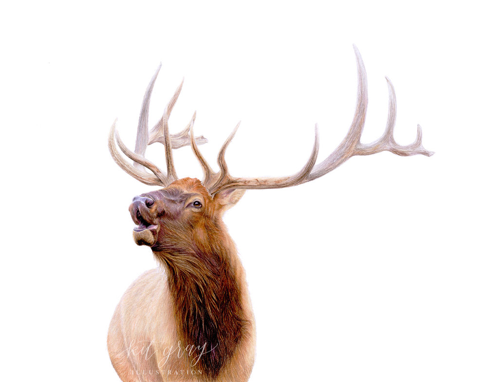"Autumn Rut - Elk in Colored Pencil, 11"" x 14"" [FOR SALE]"