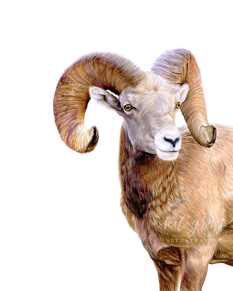 """Perseverance"""" - Bighorn Sheep in Colored Pencil, 8"""" x 10"""" [FOR SALE]"""