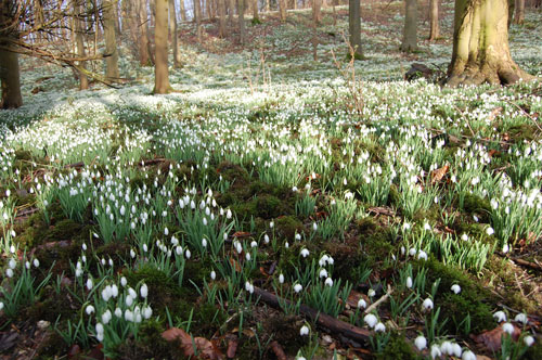 Acres of Snowdrops at Little Walsingham Priory