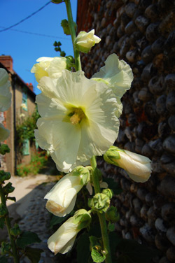 blakeney-hollyhocks.jpg