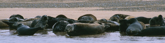 seals_blakeney_point.jpg