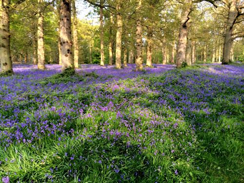 blickling-woods-bluebells-n.jpg