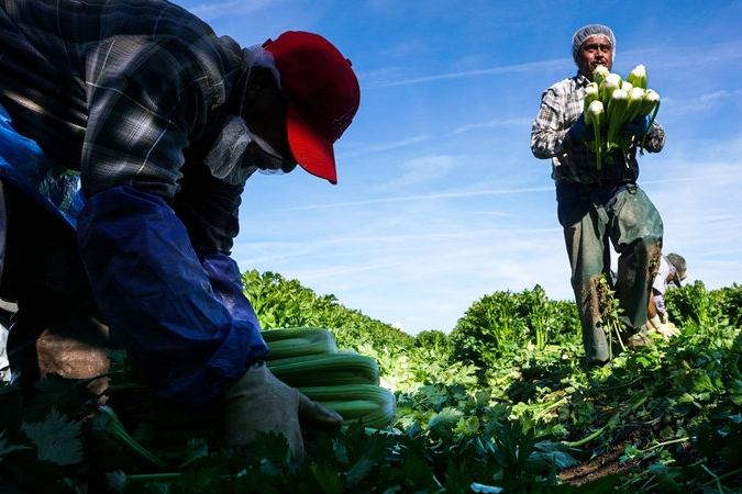 Researchers point to a number of causes for dwindling farmworkers: tighter border controls; higher prices charged by smugglers; well-paying construction jobs and a growing middle-class in Mexico that doesn't want to pick vegetables for Americans. (Sandy Huffaker/AFP/Getty Images)