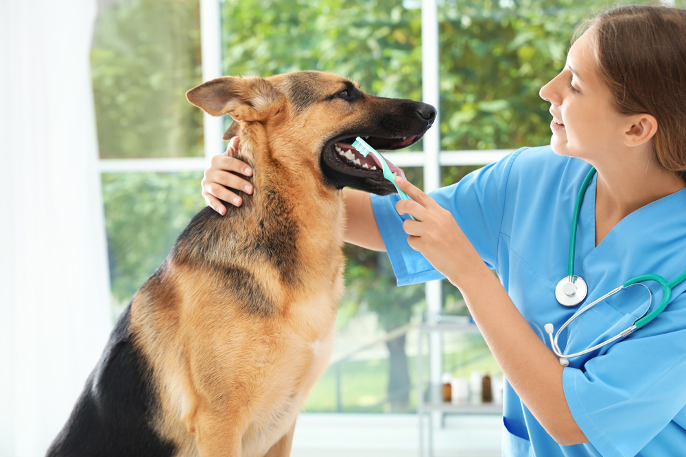 veterinarian checking and cleaning dog's teeth