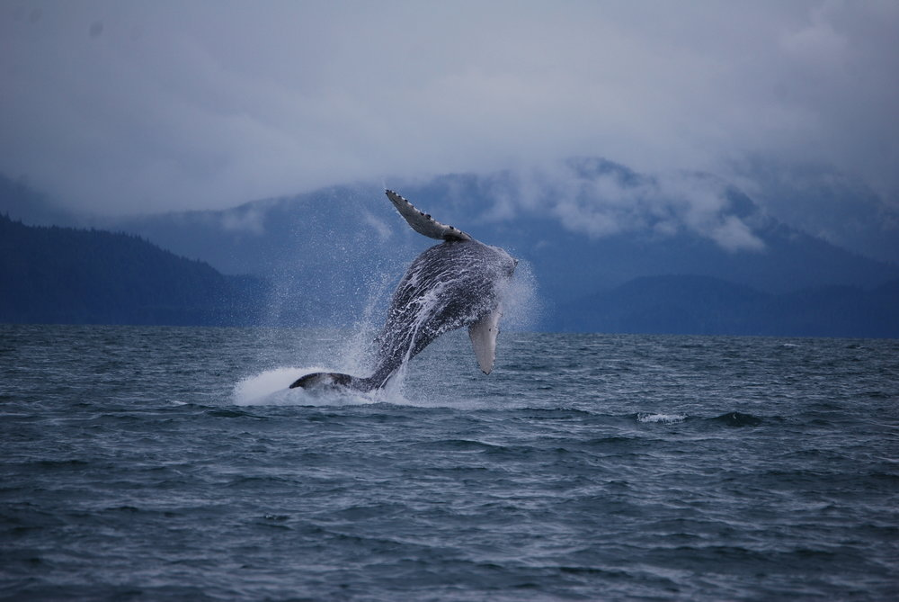 Giant breaching Humpback Whale in Juneau, Alaska- Forty Ninth Fathom Charters