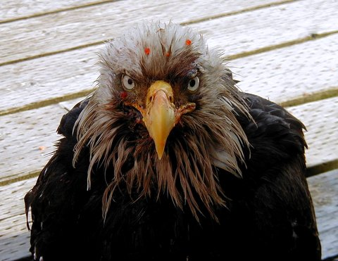 Fierce Bald Eagle on dock in Auke Bay- 49th Fathom Charters
