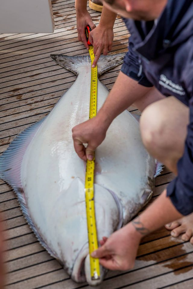 Measuring our Halibut