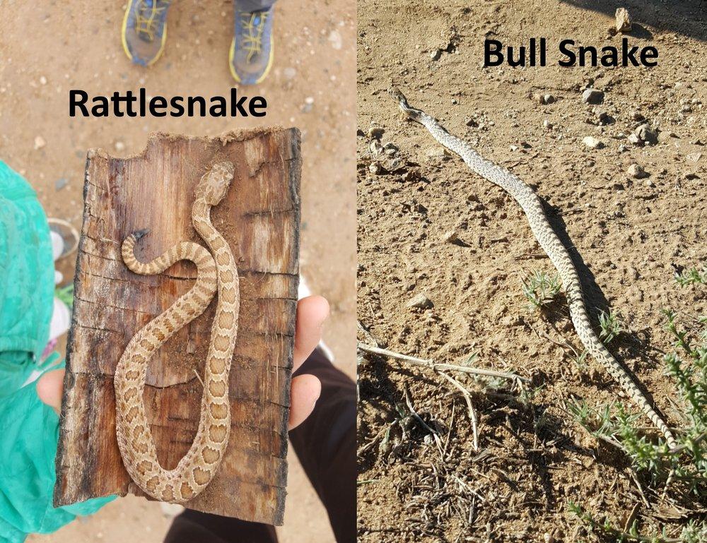 Rattlesnake Bull Snake.jpg