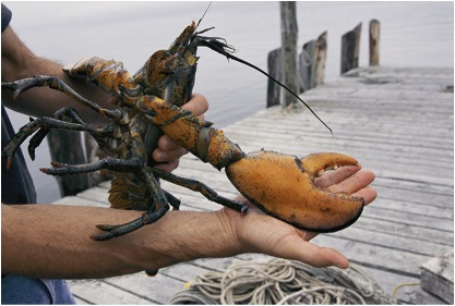 The crusher! Source: http://fineartamerica.com/featured/a-maine-lobster-with-a-large-claw-stephen-st-john.html