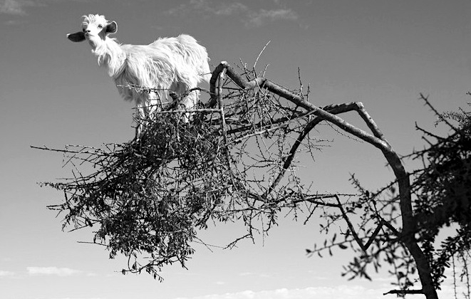 GoatinTree.jpeg