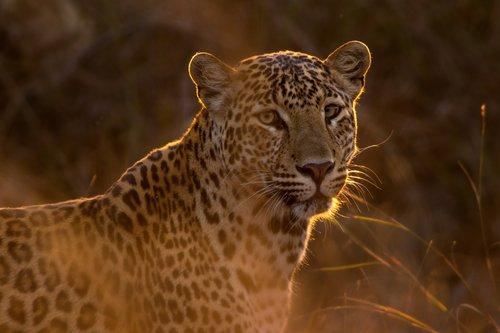 Demand reduction of leopard skins -