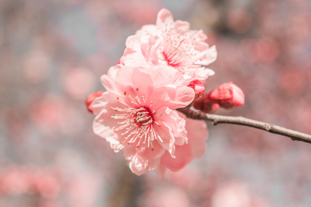 Plum blossoms before spring.