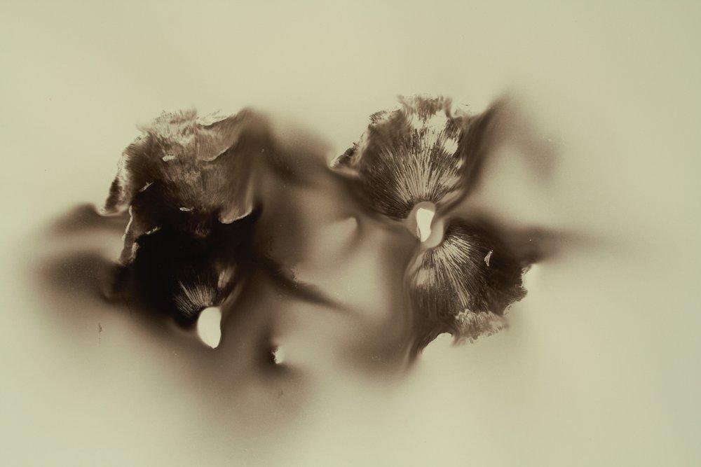 "Hermann's Pirouette, mushroom spores on paper, 22"" x30"" 2017"
