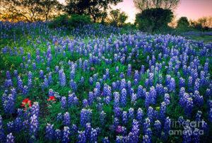 texas-bluebonnet-field-inge-johnsson-300x202.jpg