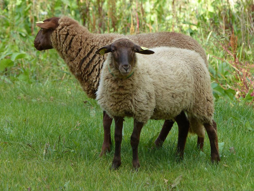 mouton-lght.jpg