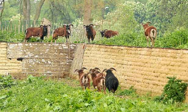moutons_citadelle_lille urbanews.jpg