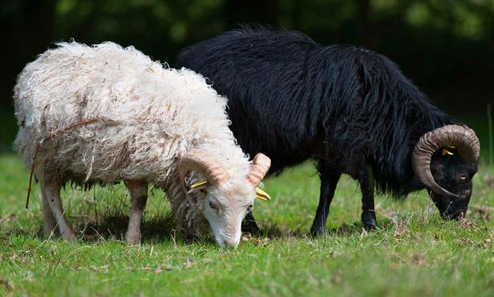 mouton-ouessant.com beliers-ouessant-noir-et-blanc.jpg