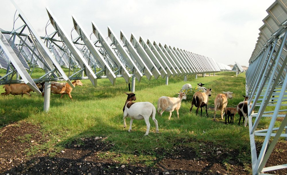 Ouessant sheep solar-farm-sheep.jpg