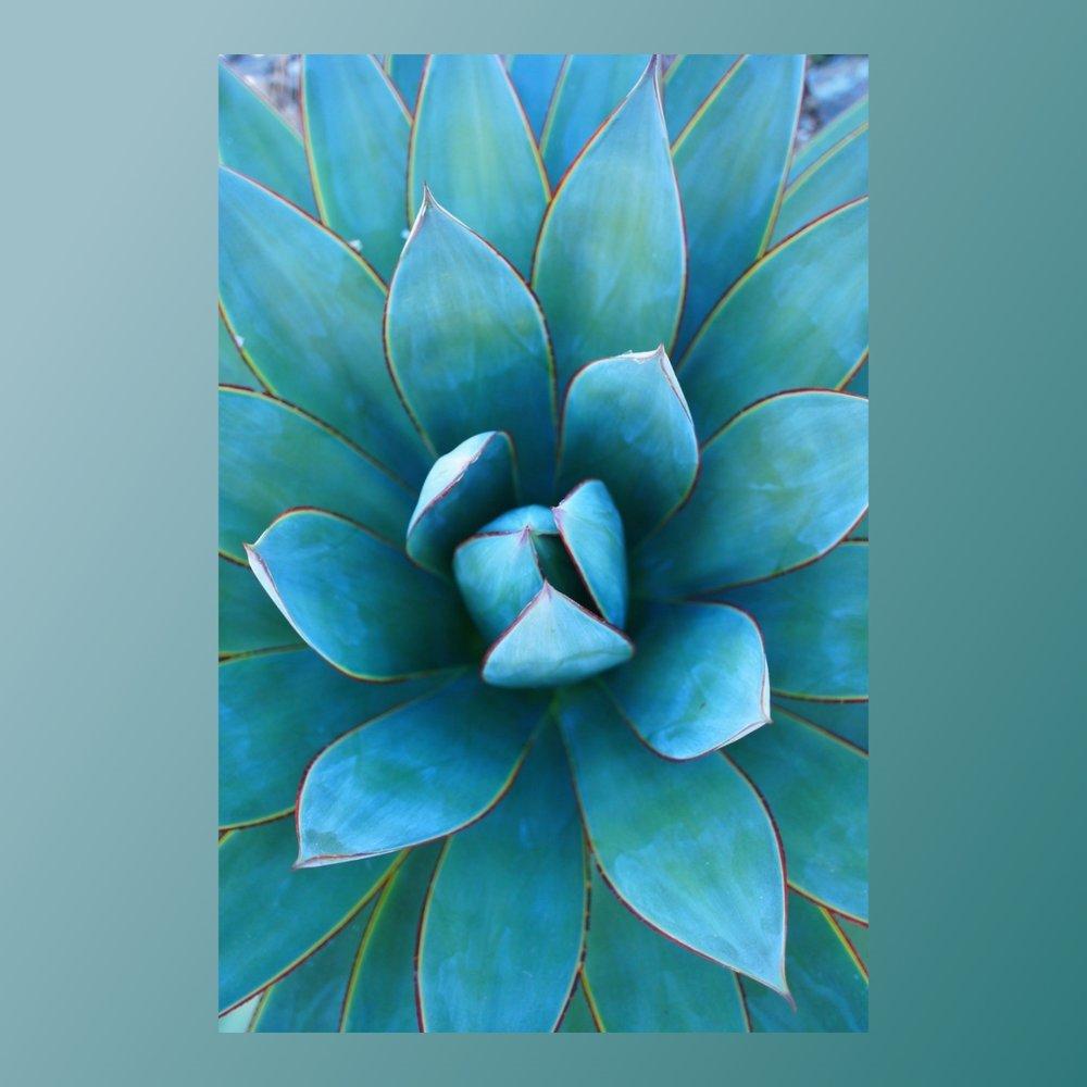 foto  planta azul deseo.jpg