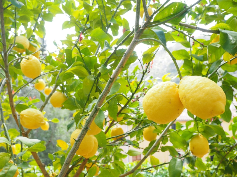 Lemon tree bright.jpg