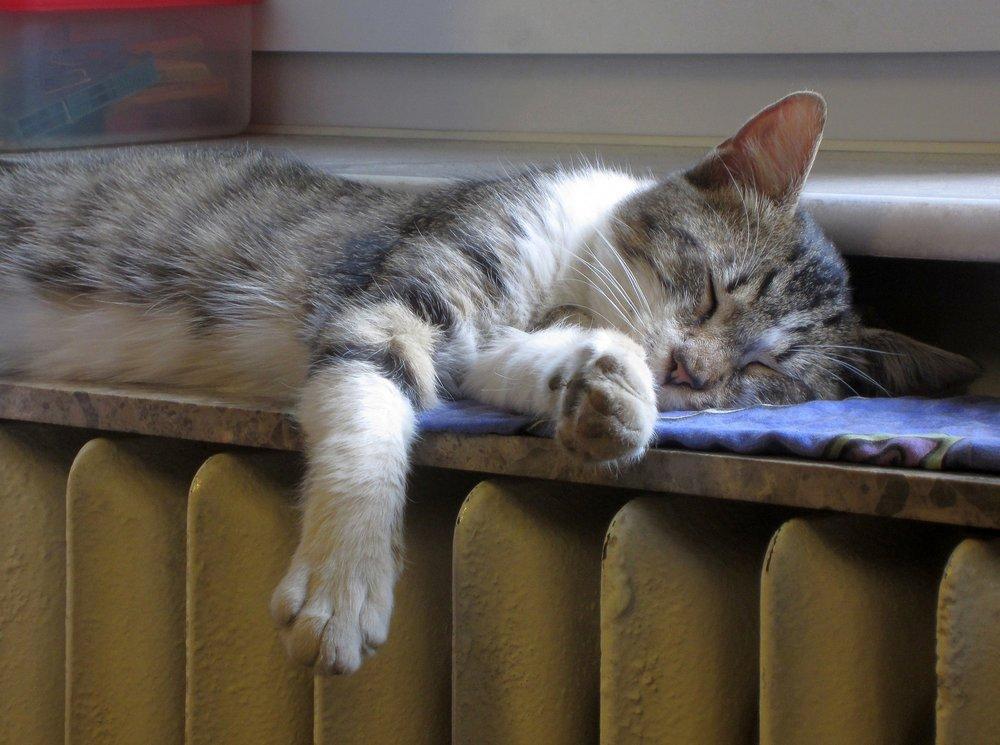 radiator cat.jpg