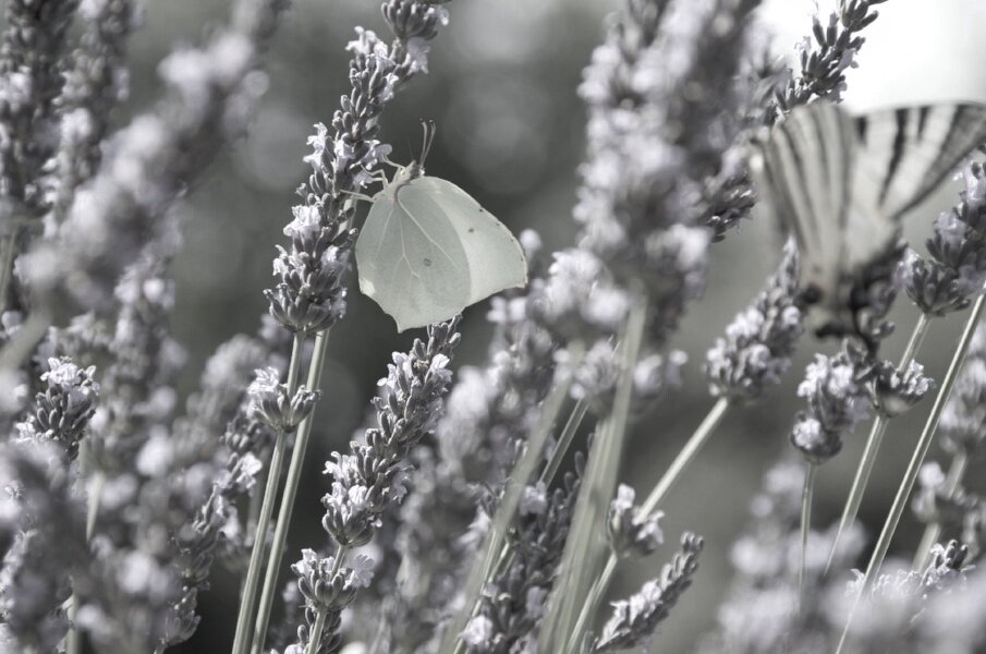 Lavender and green butterfly.jpg