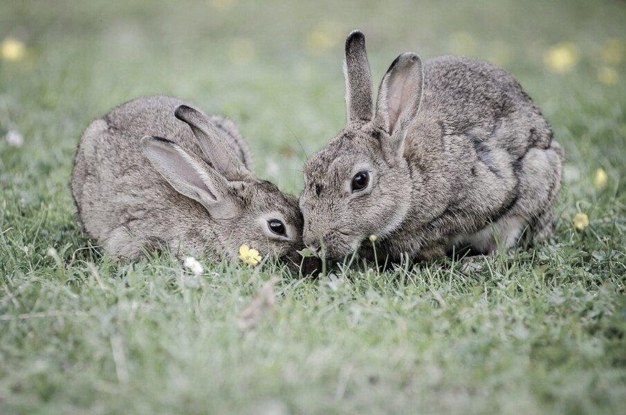 european-rabbits-1006621_1280.jpg