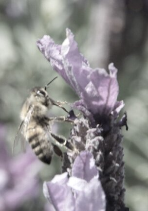 Lavender with Bee 5.jpg