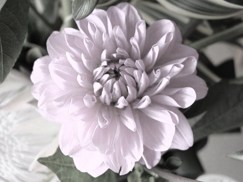 chrysanthemum pink.jpg