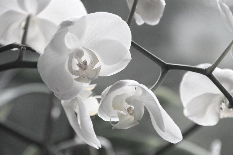 orchid white.jpg
