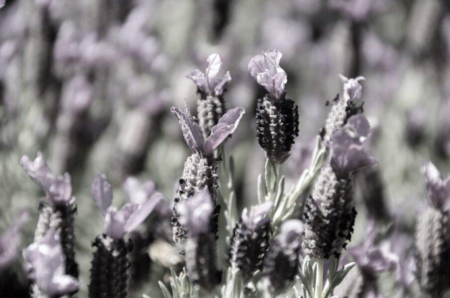 Lavender 1.jpg