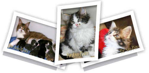 Maine Coons Of Pipandpaws Texas